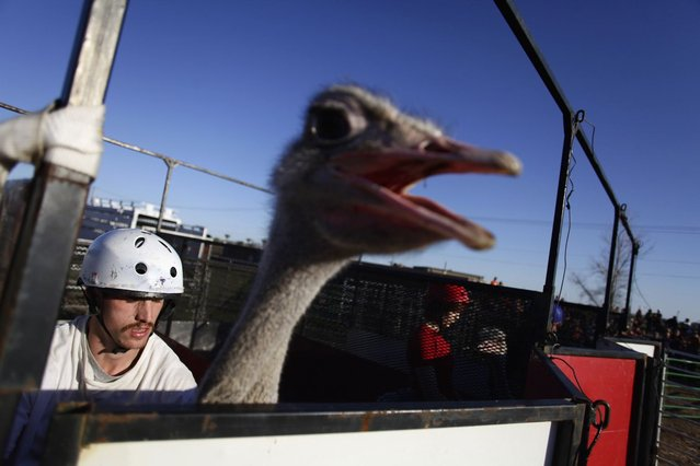 Jessey Sisson rides sits on his ostrich as he waits in the gate before the ostrich race at the annual Ostrich Festival in Chandler, Arizona March 10, 2013. (Photo by Joshua Lott/Reuters)