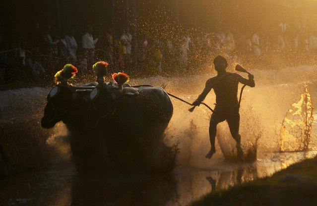 A man is silhouetted against the setting sun as he races a pair of buffaloes while participating in Kambala, an annual buffalo race conducted to mark the end of the harvest season at Surathkal town on the outskirts of the southern Indian city of Mangalore January 3, 2015. (Photo by Abhishek Chinnappa/Reuters)