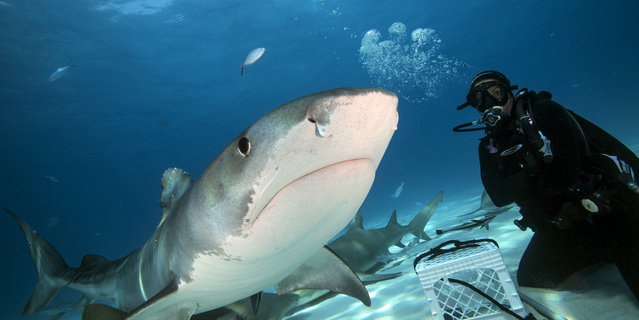 The sharks during a baiting session in Tiger beach in waters off Grand Bahamas. (Photo by Adam Hanlon/Caters News)