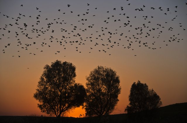 Migrating starlings fly across the sky during sunset near the southern Israeli town of Rahat February 2, 2015. (Photo by Nir Elias/Reuters)
