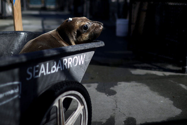 An Elephant Seal pup rides in a cart at The Marine Mammal Center on May 08, 2021 in Sausalito, California. Sea lions in California are facing a surge in cancer cases that are potentially linked to thousands of barrels of DDT that were dumped in the Pacific Ocean off the Southern California coast decades ago. A research vessel from Scripps Institution of Oceanography at University of California San Diego recently discovered and photographed over 27,000 barrels possibly containing the toxic substance DDT (dichloro-diphenyl-trichloroethane) on the seafloor between Santa Catalina Island and the Los Angeles coast. The Marine Mammal Center has found that approximately one in four California adult sea lions have died from cancer. (Photo by Justin Sullivan/Getty Images)