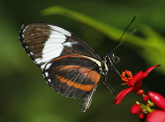 A Tiger Longwing butterfly lands on a flower as it and hundreds of other butterflies from around the world fill the bird aviary for the next month at the San Diego Zoo Safari Park in San Diego, California March 13, 2015. (Photo by Mike Blake/Reuters)