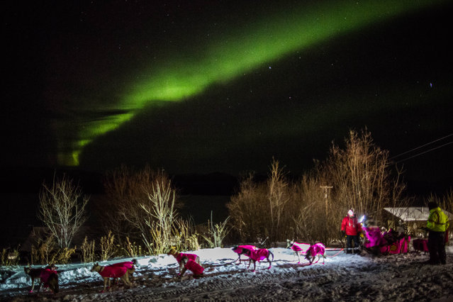 DeeDee Jonrowe arrives at the Ruby, Alaska checkpoint under the Northern Lights during the Iditarod Trail Sled Dog Race on Wednesday, March 11, 2015. (Photo by Loren Holmes/AP Photo/Alaska Dispatch News)
