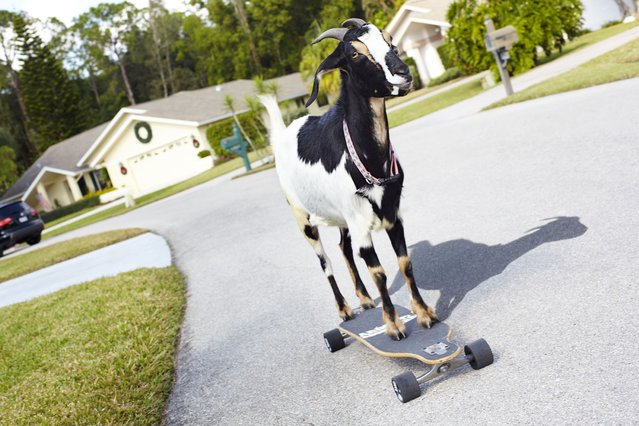 Harpie the goat from the USA who has made it into the Guinness Book of World Records for the farthest distance achieved by a goat on a skateboard going 36 meters (118ft) in 25 seconds. (Photo by PA Wire)