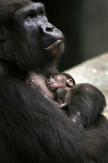 A two-day-old female western lowland baby gorilla sleeps in the arms of her mother Koola at the Brookfield Zoo in Brookfield, Illinois, on November 6, 2013. (Photo by Jim Young/Reuters)