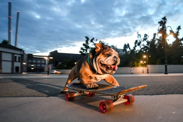 Bullet the bulldog skateboards in a seafront area in the city of Vladivostok, on Russia's Pacific coast on August 9, 2021. The 6-year-old dog learnt how to skateboard two years ago thanks to his owner, Sergei Shukshuyev. (Photo by Yuri Smityuk/TASS)