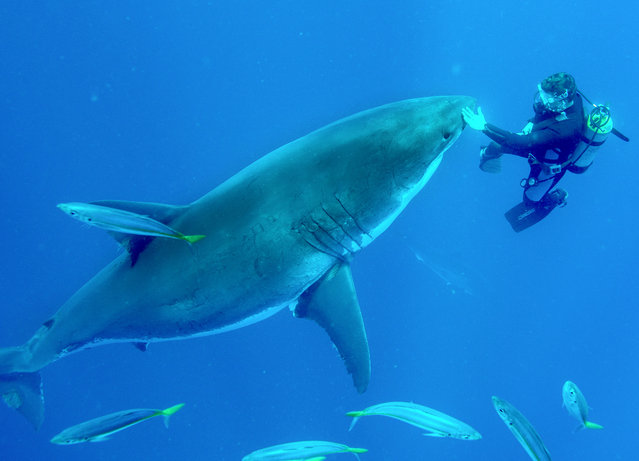 Diver Martin Kochling swimming with the female Great White Shark in Guadalupe, Mexico. (Photo by Jean-Marie Ghislain/Caters News Agency)