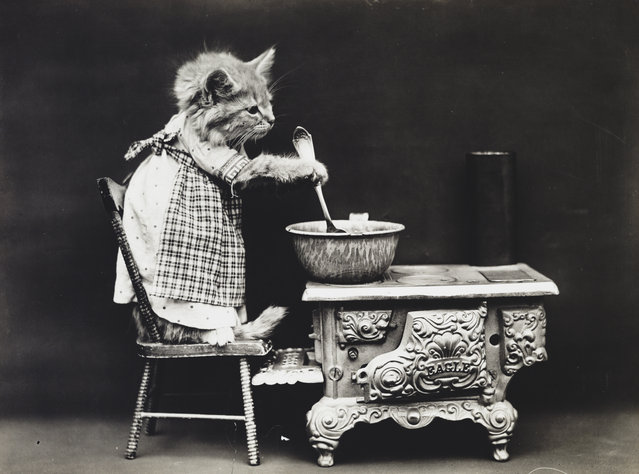 Photograph shows a kitten wearing a dress and stirring at a stove, 1914. (Photo by Harry Whittier Frees/Library of Congress)