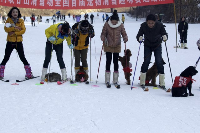 This picture taken on January 12, 2014 shows pets and their owners waiting at the starting line during a skiing competition in Sanmenxia, north China's Henan province. (Photo by AFP Photo)