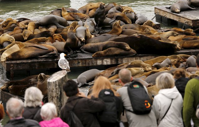 People gather as a crowd of sea lions lay on floating docks at Pier 39 in San Francisco, California May 4, 2015. (Photo by Robert Galbraith/Reuters)