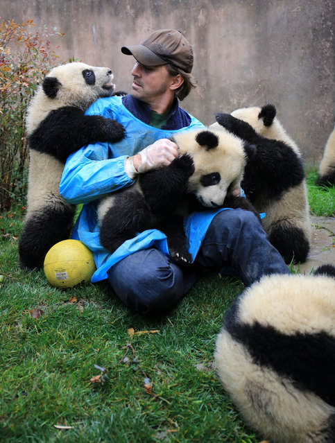 """Actor Lee Pace plays with giant panda babies at Chengdu Research Base of Giant Panda Breeding as he visits the base and is awarded as the """"Chengdu Pambassador"""" in Chengdu, Sichuan province, China, February 21, 2017. (Photo by Reuters/China Daily)"""