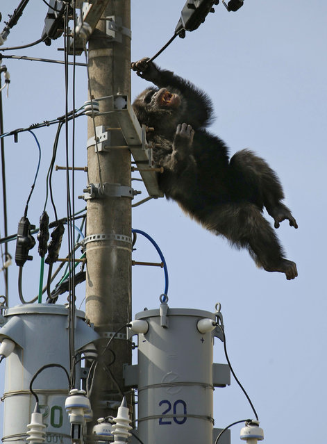 Chacha, the male chimp, falls off an electric pole, after being hit by a sedative arrow in Sendai, northern Japan, Thursday, April 14, 2016. (Photo by Kyodo News via AP Photo)