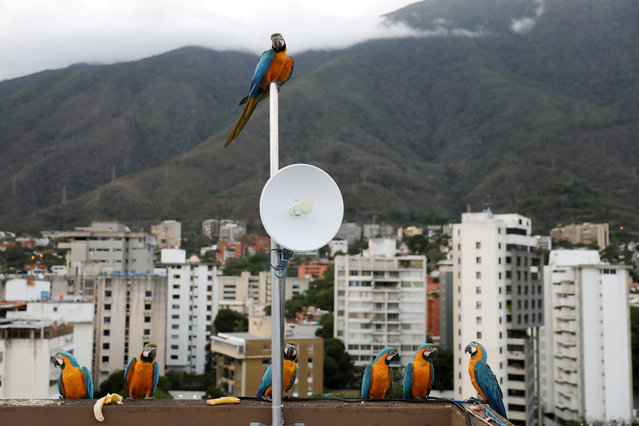 Macaws stand on a rooftop of a building with the Avila mountain behind in Caracas, Venezuela, June 6, 2019. (Photo by Manaure Quintero/Reuters)