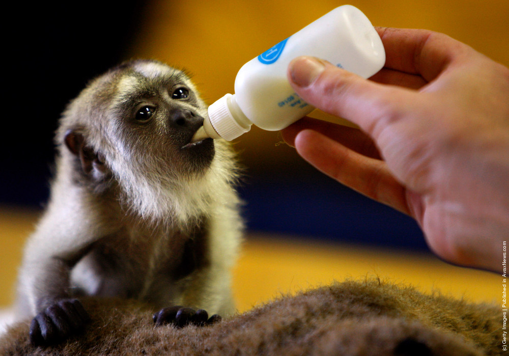 A Baby Black Howler Monkey