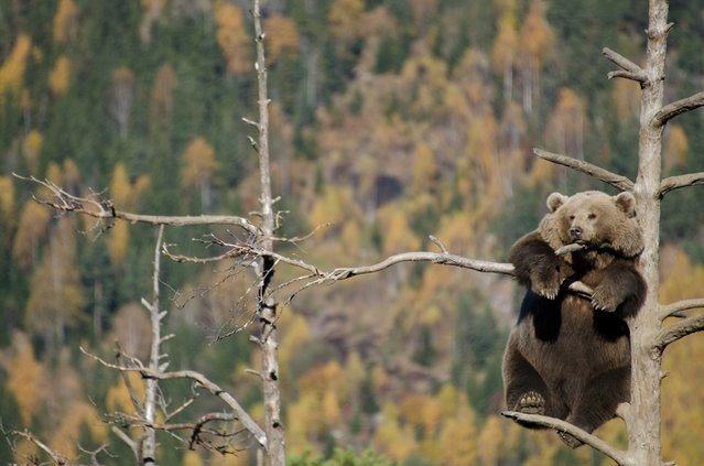 """Just hanging out"". As full autumn hits the valley of Hallingdal in Norway, this bear chills out in a tree which seems to barely cover its weight. Photo location: Flå, Hallingdal, Norway. (Photo and caption by Jorgen Tharaldsen/National Geographic Photo Contest)"