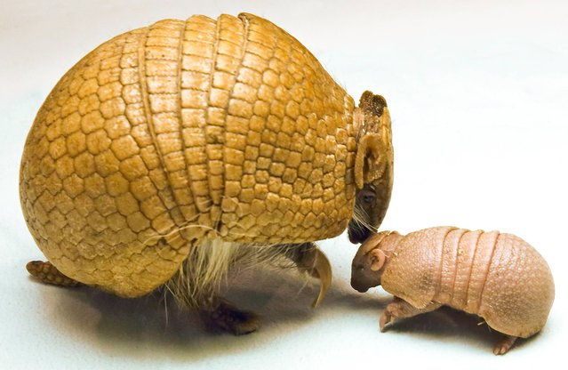 In this Sunday, April 27, 2014 handout photo provided by Busch Gardens Tampa, mother armadillo Zowie, left, welcomes her newborn Southern three-banded armadillo baby at the Animal Ambassador Team, in Tampa, Fla. The baby was able to walk and roll into a ball within moments of its birth. Southern three-banded armadillos are the only species of armadillo that can fully roll up into a ball. The baby armadillo currently weighs 118 grams, which is about the weight equivalent to an average cell phone. (Photo by AP Photo/Busch Gardens Tampa)