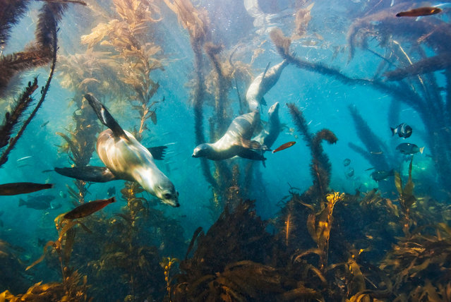 Baby California sea lions (Zalophus californianus) swimming in a kelp forest off the Channel Islands, California. (Photo by Antonio Busiello/Alamy Stock Photo)