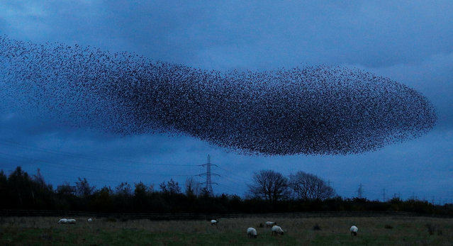 A murmuration of starlings is seen across the sky near the town of Gretna Green, Scotland, Britain on November 4, 2019. (Photo by Phil Noble/Reuters)
