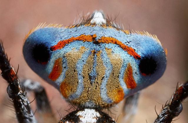 Maratus Tasmanicus. (Photo by Jürgen Otto)