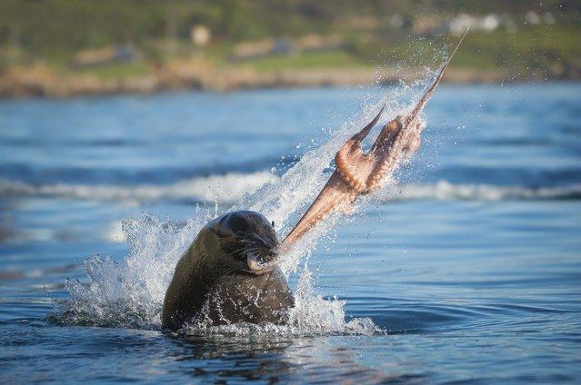 Seal bull captures octopus. (Photo by Wim van den Heever/Caters News)