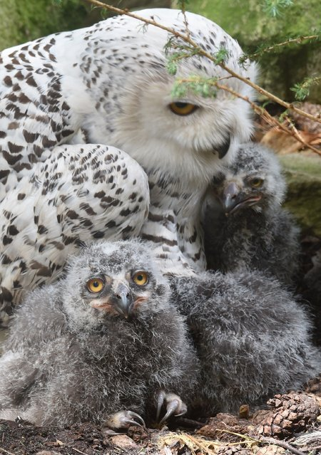 Ten days old snowy owls are protected by the mother on July 7, 2014 in Walsrode Bird Park, Germany. (Photo by Holger Hollemann/AFP Photo/DPA)