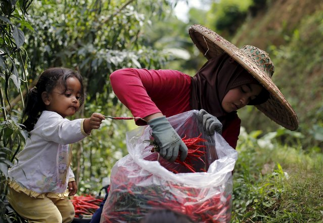 A child helps her mother harvests chillies at a chilli plantation at Pasir Datar Indah village near Sukabumi, Indonesia's West Java province, August 6, 2015. (Photo by Reuters/Beawiharta)