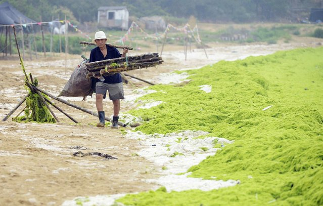A garbage collector walks next to an algae covered beach in Qingdao, Shandong province, July 31, 2014. (Photo by Reuters/China Daily)