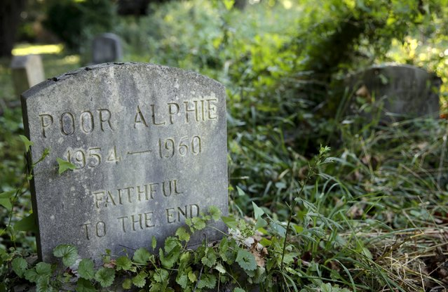 """The gravestone of """"Poor Alphie"""" is seen in an overgrown section of the Aspin Hill Memorial Park in Aspen Hill, Maryland August 25, 2015. (Photo by Gary Cameron/Reuters)"""