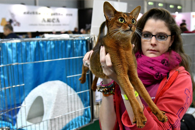 """A woman shows an Abissine cat named Alina during the """"SuperCat Show 2017"""" on November 11, 2017 in Rome, Italy. (Photo by Alberto Pizzoli/AFP Photo)"""
