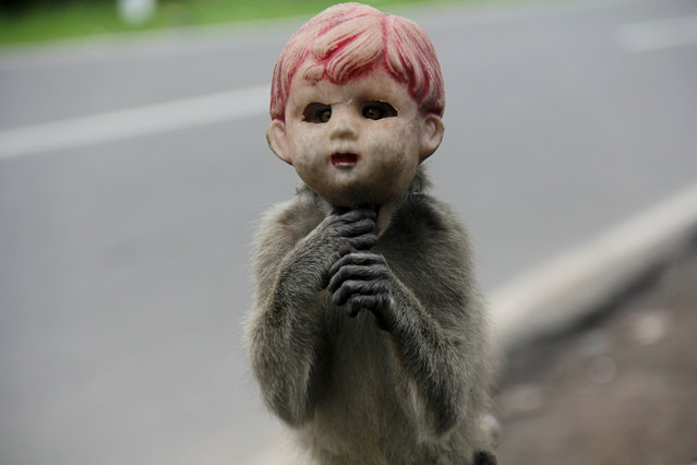 A long-tailed monkey, wearing jeans and a doll's head perform on the streets of Boyolali, Central Java Indonesia. Primates are used by owners to beg at crossroads, the primate show can earn $ 5 per day. Begging using long-tailed monkeys is opposed by animal lovers community as it is considered to torture and degrade animal health. (Photo by Arief Setiadi/Pacific Press/Barcroft Images)