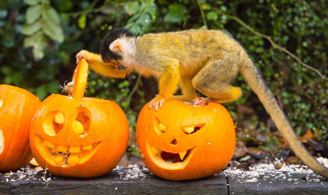 A squirrel monkey searches for Halloween treats hidden inside a pumpkin at ZSL London Zoo, in central London, on October 30, 2014. (Photo by Dominic Lipinski/PA Wire)