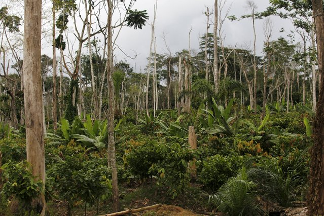 A view of dead trees inside the protected Gouin-Debe forest in Blolequin department, western Ivory Coast August 17, 2015. (Photo by Luc Gnago/Reuters)