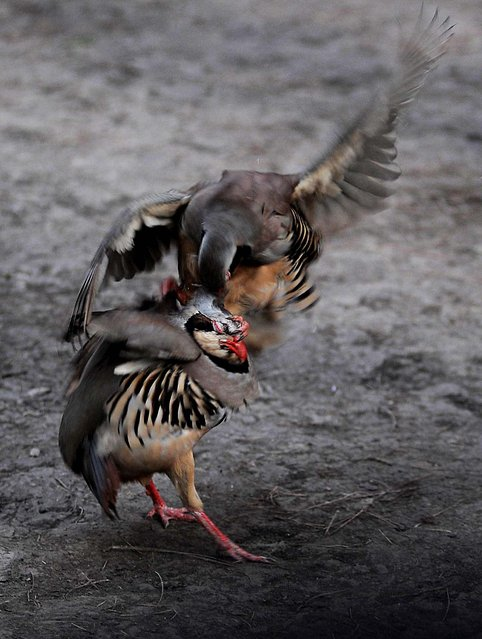 Specially bred fighting partridges face off in the early morning at the Central Park in Kabul. (Photo by Yuri Cortez/AFP Photo)