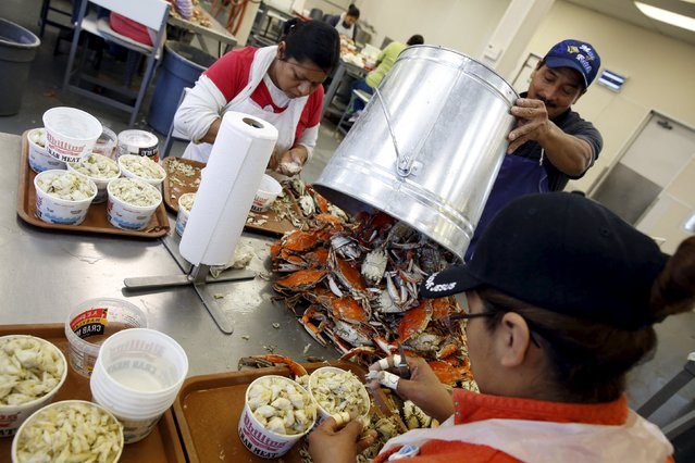 Mexican workers, on the U.S. H2B visa program for seasonal guest workers, process crabs at the A.E. Phillips & Son Inc. crab picking house on Hooper's Island in Fishing Creek, Maryland August 26, 2015. Phillips has claimed pioneering status in the Chesapeake crab industry since 1956, when they opened their own restaurant in Ocean City, Maryland, and today still run the picking operation on Hooper's Island to provide crabs to their network of eateries. (Photo by Jonathan Ernst/Reuters)