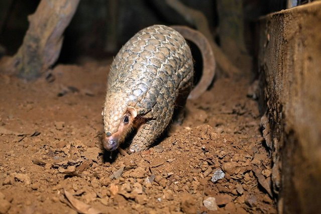 This photograph taken on September 14, 2020 shows a pangolin emerging from an underground tunnel at night at Save Vietnam's Wildlife, a group that runs a pangolin conservation program inside the Cuc Phuong National Park in northern province of Ninh Binh. Life remains precarious for the world's most trafficked mammal despite the country's renewed vow to crack down on the illegal wildlife trade that many blame for the coronavirus pandemic. (Photo by Manan Vatsyayana/AFP Photo)