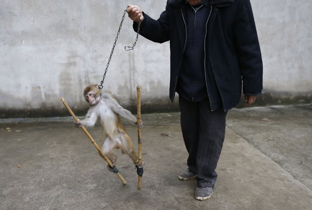 A monkey is led by its trainer Qi Defang during training for a circus in Suzhou, Anhui province, November 29, 2014. (Photo by William Hong/Reuters)