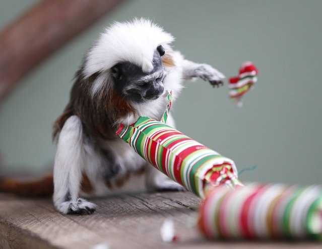 A cotton-top tamarin reaches into a traditional Christmas bon bon to retrieve food treats, during a Christmas-themed feeding session at Sydney's Taronga Park Zoo, December 9, 2014. The Tamarin is one of the smallest of the primates, weighing in at only around 500 grams (1.1lbs) and is native to Colombia. (Photo by Jason Reed/Reuters)