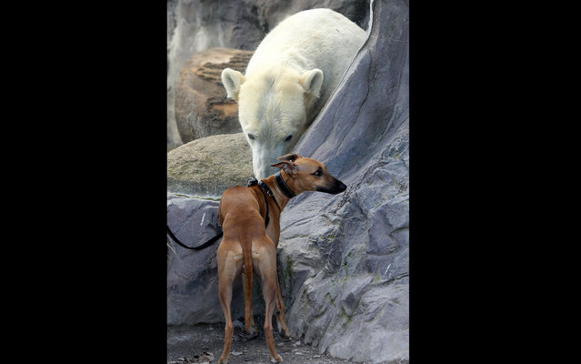 Polar Bear sees a dog that approaches the glass of his enclosure at the zoo in Gelsenkirchen, Germany, on April 2, 2013. The dog seems to fear the encounter. (Photo by Roland Weihrauch/AFP Photo/Dpa)