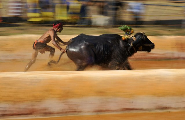 A man races a pair of buffaloes as he participates in Kambala, an annual buffalo race conducted to mark the end of the harvest season at Surathkal town on the outskirts of the southern Indian city of Mangalore January 3, 2015. (Photo by Abhishek Chinnappa/Reuters)