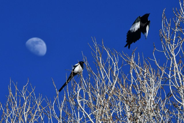 Eurasian magpies are seen over branches of a tree as moon rises over Kars, Turkey on February 22, 2021. (Photo by Huseyin Demirci/Anadolu Agency via Getty Images)