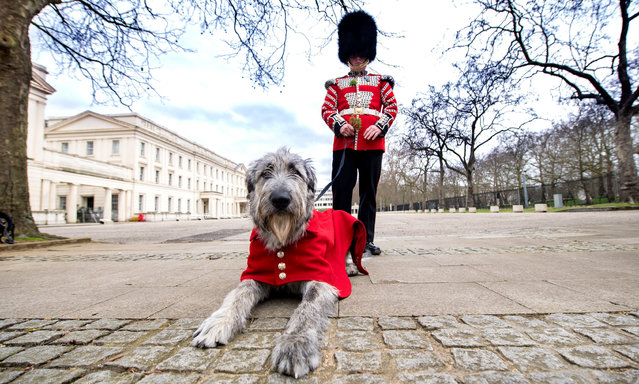 Irish Guards' new mascot, Irish Wolfhound Turlough Mor with his handler Drummer Adam Walsh at Wellington Barracks, London on Tuesday March 16, 2021, before being presented with his shamrock ahead of the Regiment's own private St Patrick's Day celebrations on Wednesday. (Photo by Ian West/PA Images via Getty Images)