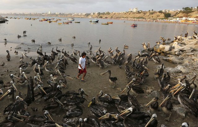 A man is surrounded by pelicans as he walks near a fish market in the Chorrillos municipality in Lima, February 11, 2015. (Photo by Mariana Bazo/Reuters)