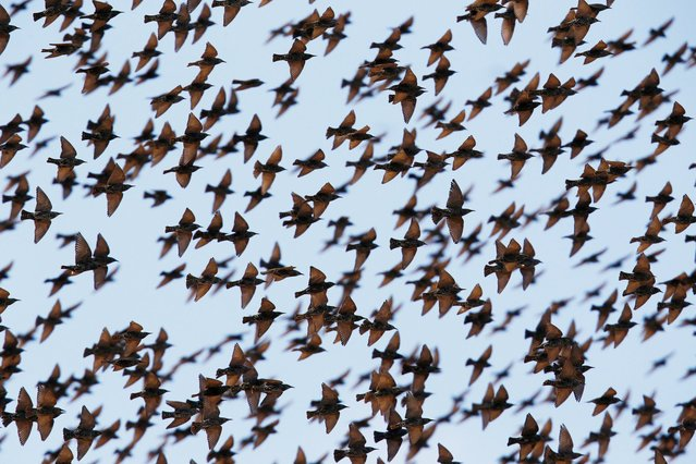 A murmuration of migrating starlings is seen in the sky near the southern Israeli city of Beer Sheva December 28, 2015. (Photo by Amir Cohen/Reuters)