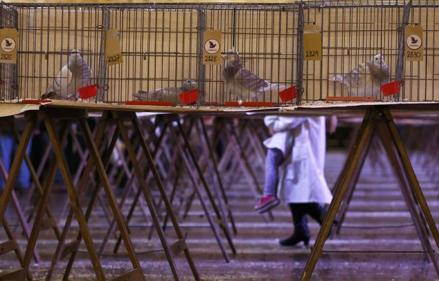Pigeons sit in cages as they are displayed during the British Homing World show of the year at Blackpool's Winter Gardens in Blackpool, north west England on January 17, 2016. (Photo by Andrew Yates/Reuters)