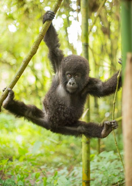A cute baby mountain gorilla does the splits in the trees in the Virunga National Park, Rwanda, on Oktober 16, 2013. (Photo by Peter Stanley/Barcroft Media)