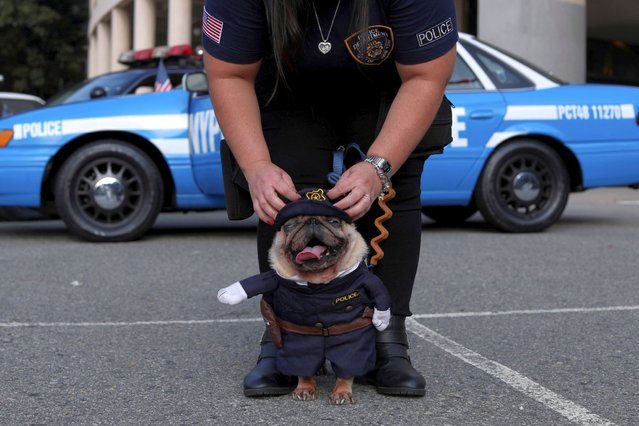Mariani Morandi, a member of a group of Brazilian fans of New York Police Department (NYPD), whose hobby is to recreate NYPD's cars and motorbikes, adjusts her dog's police costume in front of Pacaembu Stadium in Sao Paulo, Brazil on May 16, 2021. (Photo by Amanda Perobelli/Reuters)