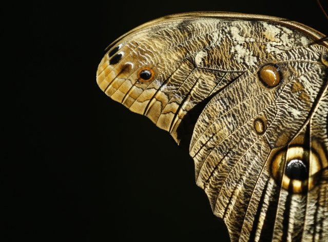 The wing of a Giant Owl butterfly is shown as it and hundreds of other butterflies from around the world fill the bird aviary for the next month at the San Diego Zoo Safari Park in San Diego, California March 13, 2015. (Photo by Mike Blake/Reuters)