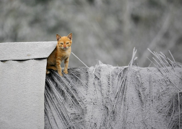 A kitten sits on the roof of a house that is covered with volcanic ash from the eruption of Mount Sinabung in Mardingding, North Sumatra, Indonesia, Wednesday, November 6, 2013. The 2,600-meter (8,530-foot) -high volcano has been erupting since Sunday, unleashing volcanic ash high into the sky and forcing the evacuation of villagers living around its slope. (Photo by Binsar Bakkara/AP Photo)