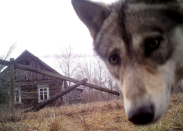 "BELARUS: A wolf looks into the camera at the 30 km (19 miles) exclusion zone around the Chernobyl nuclear reactor in the abandoned village of Orevichi, Belarus, March 2, 2016. What happens to the environment when humans disappear? Thirty years after the Chernobyl nuclear disaster, booming populations of wolf, elk and other wildlife in the vast contaminated zone in Belarus and Ukraine provide a clue. On April 26, 1986, a botched test at the nuclear plant in Ukraine, then a Soviet republic, sent clouds of smouldering radioactive material across large swathes of Europe. Over 100,000 people had to abandon the area permanently, leaving native animals the sole occupants of a cross-border ""exclusion zone"" roughly the size of Luxembourg. Photo taken with trail camera. (Photo by Vasily Fedosenko/Reuters)"