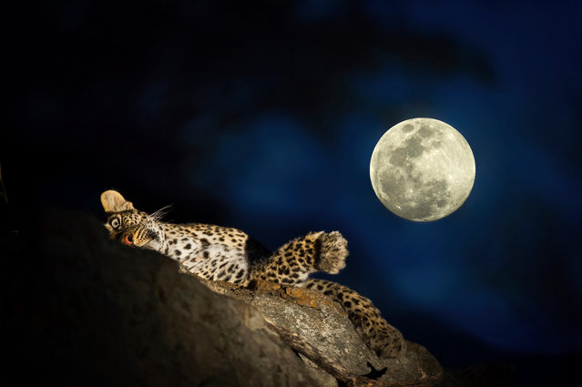A leopard relaxes on a branch under the moon. (Photo by Brendon Cremer/Caters News)